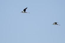 Pair Of Black-Necked Stilt Fly...