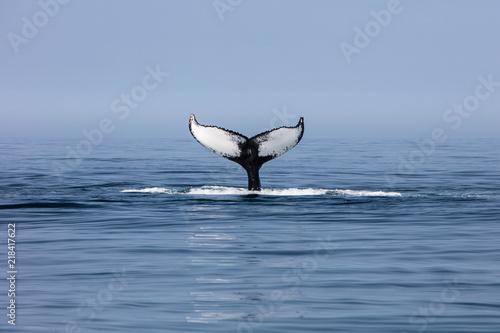 Fototapeta premium Humpback Whale Fluke off Cape Cod, MA