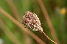 Wild Carrot Or Daucus Carota Or Birds Nest Or Bishops Lace Or Queen Annes Lace Biennial Herbaceous Plant With Dry And Fully Closed Flower Head With Clearly Visible Hairy Seeds On Green Leaves And Othe