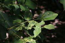Nussbaum, Walnuss Baum Mit Von Galle, Gallmilbe Befallenen Blättern
