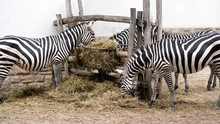 A Few Zebras Eat Straw