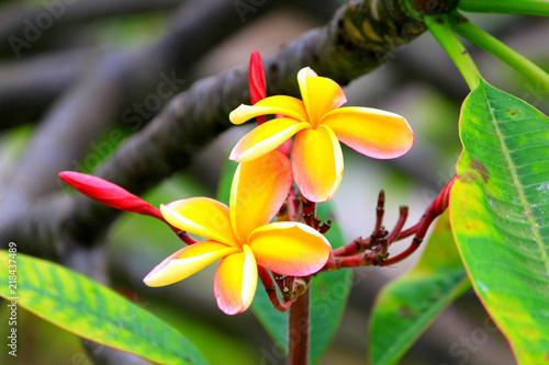 Foto op Aluminium Frangipani Hawaiian plumeria flower