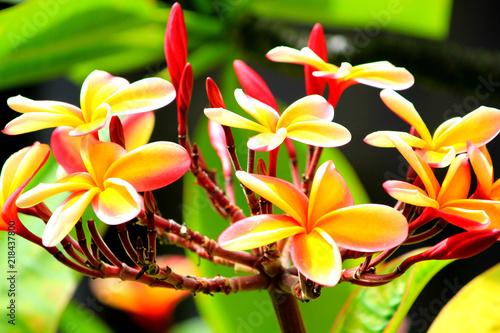 Deurstickers Frangipani Hawaiian plumeria flower