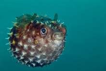 PufferfishPufferfish (Tetraodontidae Sp.) Picture Was Taken In Lembeh Strait, Indonesia