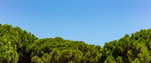 Bright Green Pine Trees Tops On Blue Sky Background