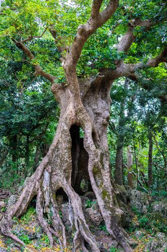 Fotografía  Century old giant autumn maple tree trunk in Kenting national park Taiwan
