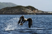 White-tailed Eagle In Flight, Eagle With A Fish Which Has Been Just Plucked From The Water, Scotland ,Haliaeetus Albicilla, Eagle With A Fish Flies Over A Sea, Majestic Sea Eagle