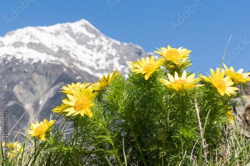 Adonis de printemps devant un paysage de montagne Canvas Print