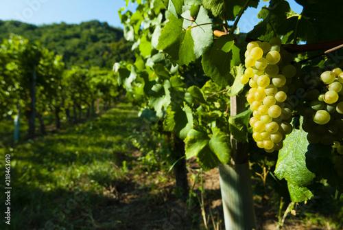 Fotobehang Wijngaard white riesling grapes vineyard before harvest