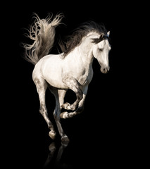 Obraz na płótnie Canvas White Andalusian horse with black legs and mane galloping isolated on black background