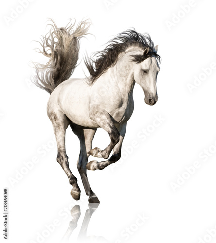 Leinwand Poster White Andalusian horse with black legs and mane galloping isolated on white back