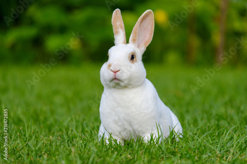 Fotografie, Obraz  Calm and sweet little white rabbit sitting on green grass