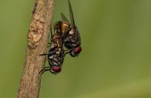 Macro Shot Of Mating Flies On ...