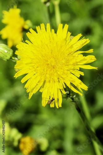 Keuken foto achterwand Paardebloem Yellow Beauty