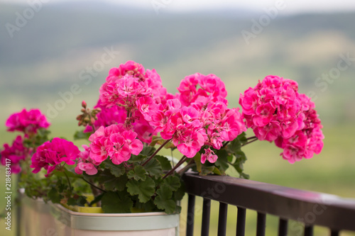 Fotografie, Obraz geranium flower on balcony