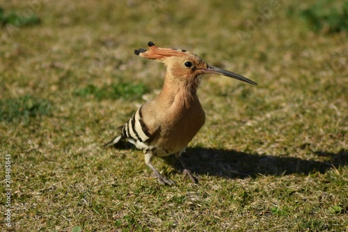 Fotografie, Obraz  dudek, Upupa epops, park, ptak