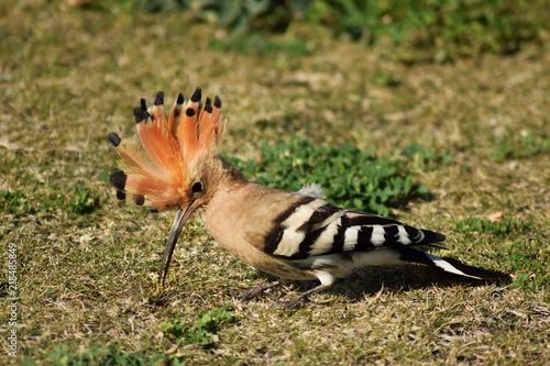 Fotografie, Obraz  Dudek w parku, Upupa epops , ptactwo, dzika przyroda
