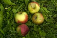 Fallen Ripe Apples Lie In The ...