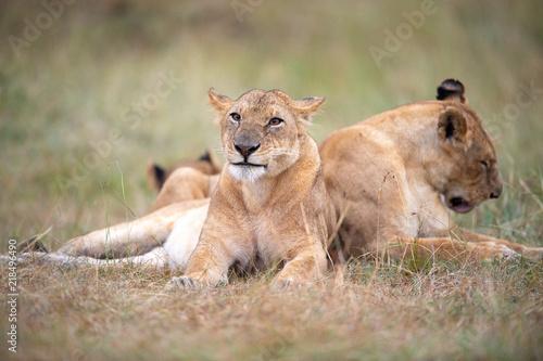 Foto  Lioness (Panthera Leo) resting, Masai Mara, Kenya