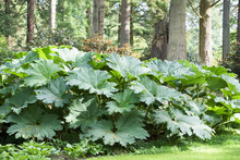 Giant Rhubarb Large Plant With...