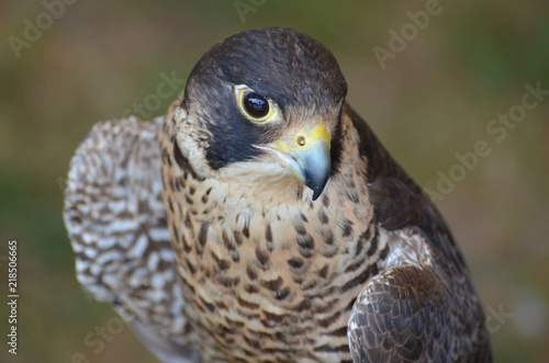 Photo  Close up photo of a wild falcon looking down