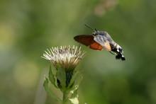 Hummingbird Hawk-moth On A Wildflower Against Green Natural Background