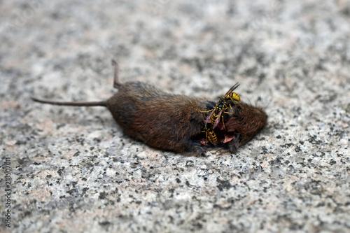 Fotografie, Obraz  Wepsen fressen Maus
