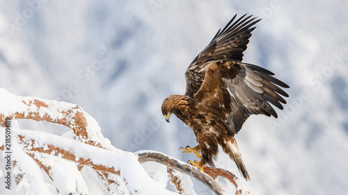 Poster Aigle Golden eagle in tree, Telemark, Norway