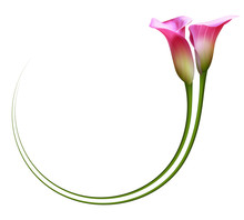 Realistic Pink Calla Lily Frame, Circle. The Symbol Of Enchanting Beauty.