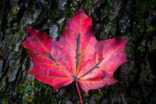 Bright Red Maple Leaf