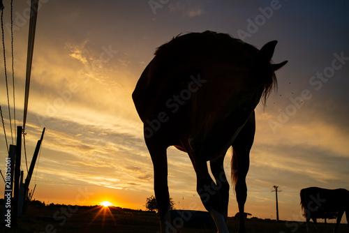 Foto op Canvas Paarden Cavalli della Normandia