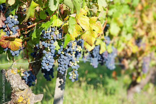 Blue grapes on vine in organic vineyards. Piedmont, Italy, sunset.