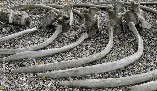 Gray Whale Ribs, Anchorage, Alaska