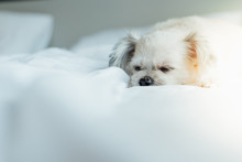 Dog Sleep Lies On Bed In Bedroom At Home Or Hotel