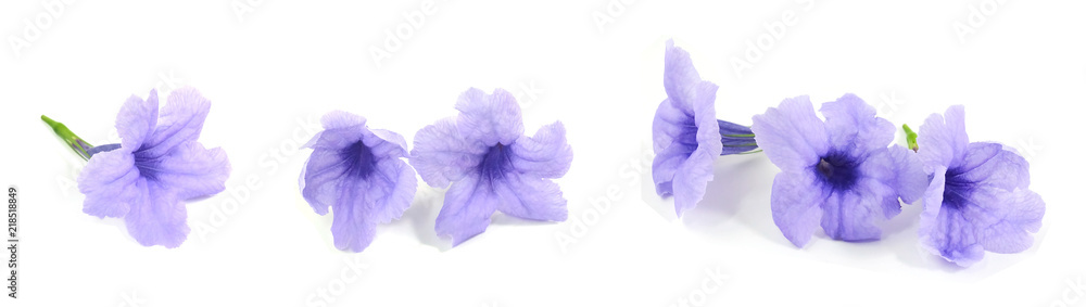 Fototapety, obrazy: Fresh Purple Ruellia Tuberosa or Minnieroot Flowers