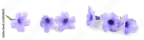 Fresh Purple Ruellia Tuberosa or Minnieroot Flowers