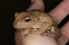A Large Cuban Tree Frog, Found In Tampa, Florida.