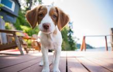 Brittany Puppy Outdoor Deck
