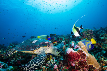 A Hawksbill Sea Turtle surrounded by tropical fish feeding on a coral reef