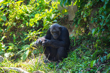 View Of Chimpanzee