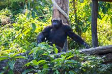 View Of Chimpanzee