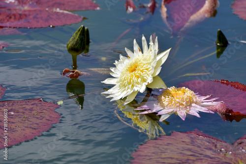 Foto op Canvas Waterlelies 睡蓮