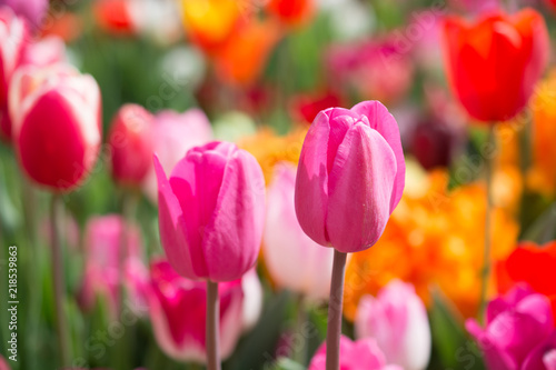 Photo Stands Candy pink Colorful tulip flowers bloom in the garden
