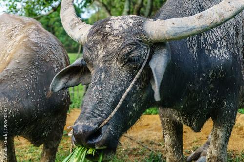 Keuken foto achterwand Buffel Wildlife Buffalo muddy body eating grass.