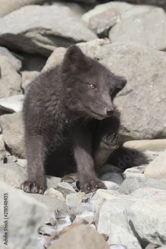 Fotografia  Puppy Commanders blue arctic fox that scratches itself behind the ear near the e