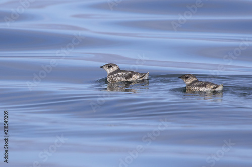 Photo  two kittlitz's murrelet that are floating on the water on a summer day