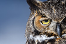 Close-up Of A Great Horned Owl In New England In The Snow