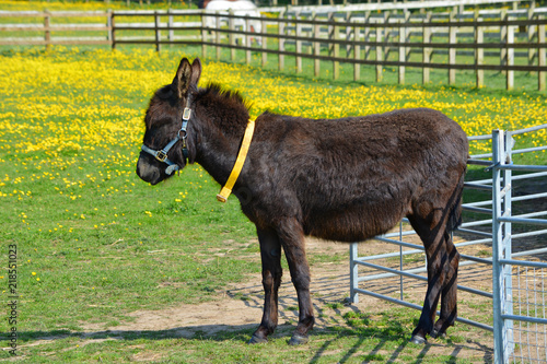Donkey Standing in a Field of Buttercups