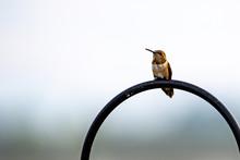 A Rufous Hummingbird Perched A...