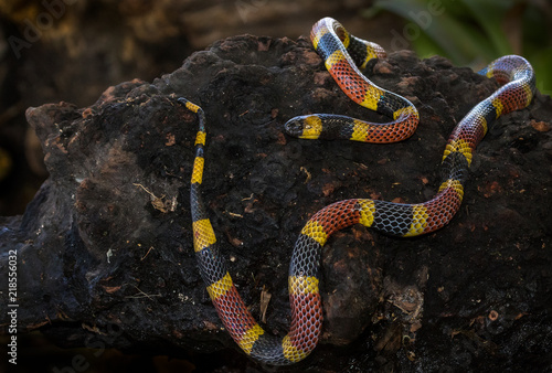A costa rican coral snake